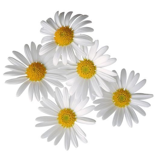 Купить ромашки цветы в москве