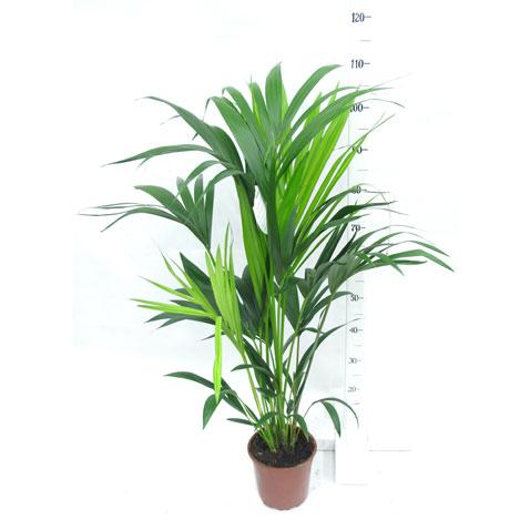 Комнатные растения ховея купить
